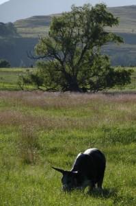 valley bull